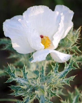 Thistle's Flower