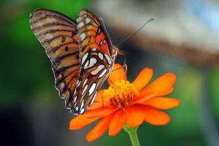 Monarch On My Patio