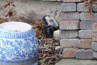 Skunk in Drumsta's Yard