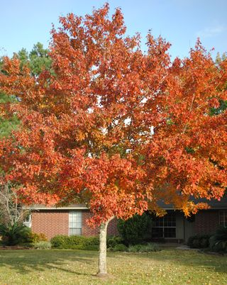 Maple Tree 3