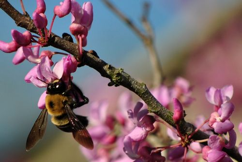 Bee on Redbud Branch